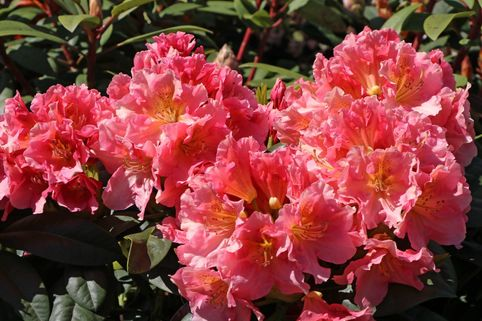 Rhododendron 'Dolcemente' - Rhododendron Hybride 'Dolcemente'