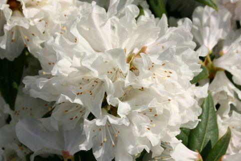 Rhododendron 'Dora Amateis' - Rhododendron carolinianum 'Dora Amateis'