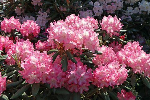Rhododendron 'Emanuela' - Rhododendron yakushimanum 'Emanuela'