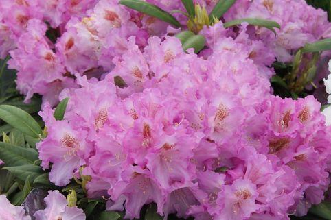 Rhododendron 'Ernest Inman' - Rhododendron yakushimanum 'Ernest Iman'