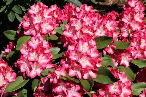 Rhododendron 'Eruption' (S) - Rhododendron Hybride 'Eruption' (S)
