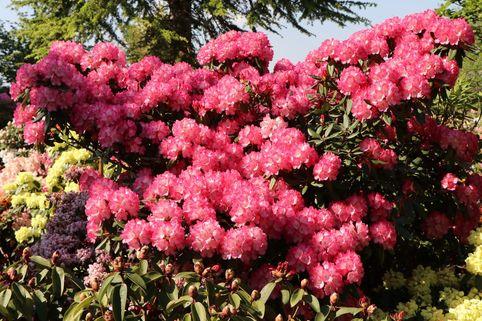 Rhododendron 'Fantastica' - Rhododendron yakushimanum 'Fantastica'