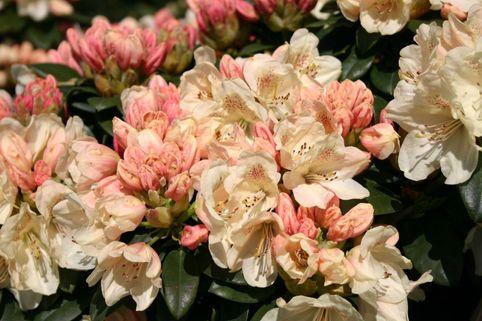 Rhododendron 'Festivo' - Rhododendron yakushimanum 'Festivo'