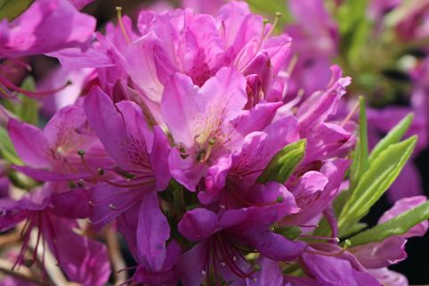 Rhododendron 'Fraseri' - Rhododendron canadense 'Fraseri'