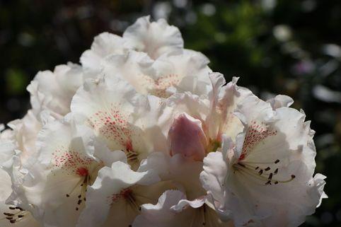 Rhododendron 'Gartendirektor Rieger' - Rhododendron williamsianum 'Gartendirektor Rieger'