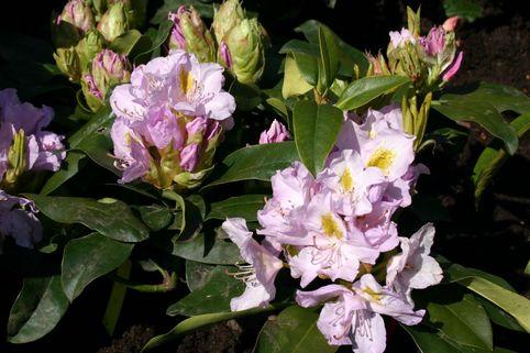 Rhododendron 'Genoveva' - Rhododendron Hybride 'Genoveva'