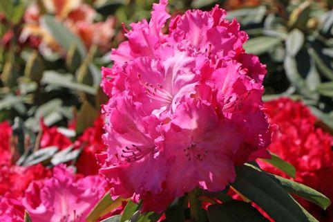 Rhododendron 'Germania' ® - Rhododendron Hybride 'Germania' ®