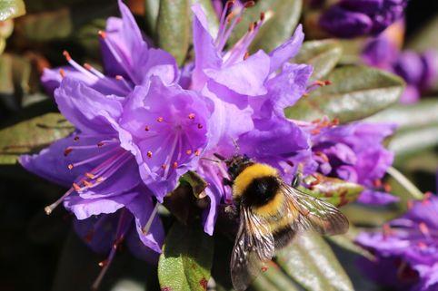 Rhododendron 'Gletschernacht' - Rhododendron russatum 'Gletschernacht'