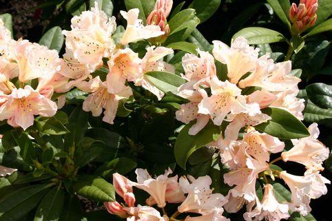 Rhododendron 'Gloria' - Rhododendron Hybride 'Gloria'