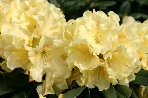 Rhododendron 'Goldinetta' ® - Rhododendron Hybride 'Goldinetta' ®