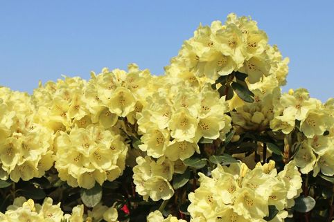 Rhododendron 'Goldkrone' - Rhododendron Hybride 'Goldkrone'