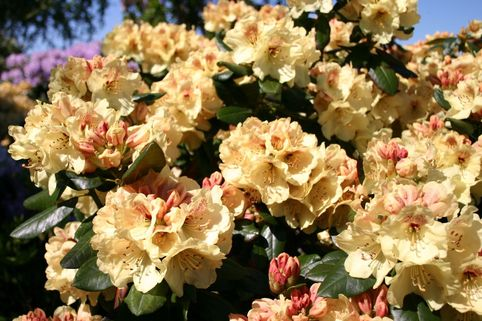 Rhododendron 'Goldprinz' - Rhododendron yakushimanum 'Goldprinz'