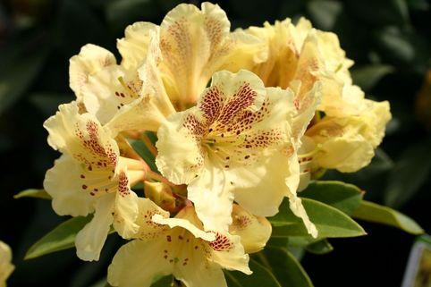 Rhododendron 'Goldsprenkel' - Rhododendron wardii 'Goldsprenkel'