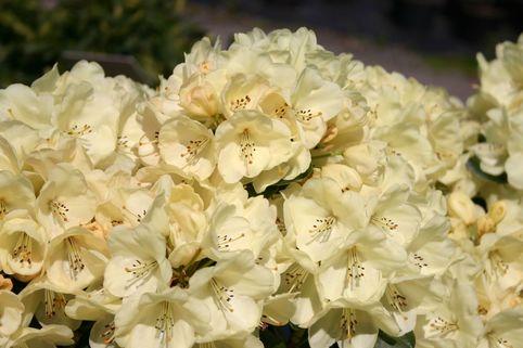 Rhododendron 'Graf Lennart' - Rhododendron Hybride 'Graf Lennart'