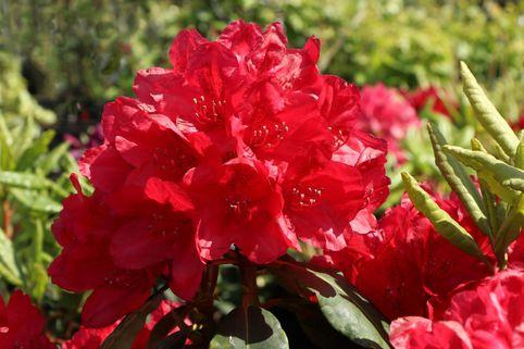 Rhododendron 'Hachmann's Feuerschein' (S) - Rhododendron Hybride 'Hachmann's Feuerschein' (S)