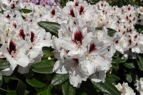 Rhododendron 'Hachmann's Picobello' ® - Rhododendron Hybride 'Hachmann's Picobello' ®