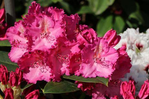 Rhododendron 'Haithabu' - Rhododendron Hybride 'Haithabu'