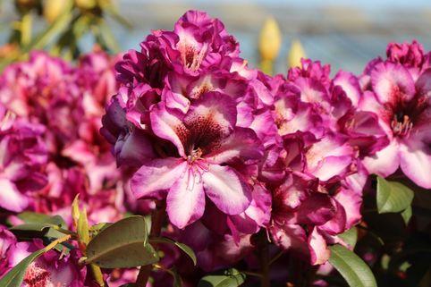 Rhododendron 'Hans Hachmann' ® - Rhododendron Hybride 'Hans Hachmann' ®