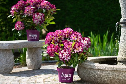 Rhododendron Happydendron ® 'Pushy Purple ®' - Rhododendron Hybride Happydendron ® 'Pushy Purple ®'
