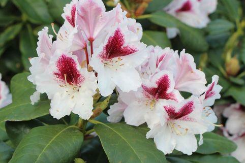 Rhododendron 'Herbstgruß' - Rhododendron Hybride 'Herbstgruß'