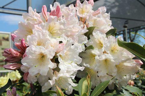Rhododendron 'INKARHO-Dufthecke' ® weiß - Rhododendron Hybride 'INKARHO-Dufthecke'  ® weiß