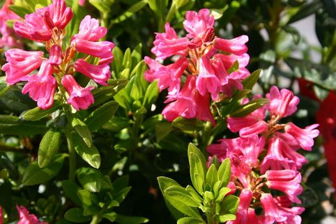Rhododendron intermedium - Rhododendron intermedium