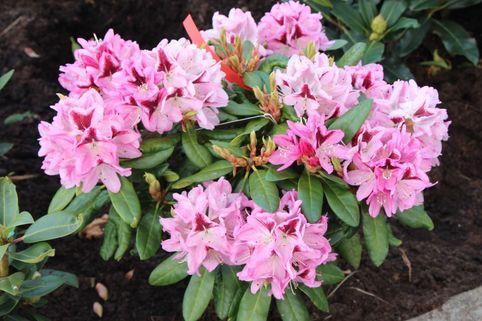 Rhododendron 'Kalamaika' - Rhododendron Hybride 'Kalamaika'