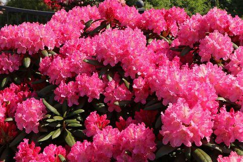 Rhododendron 'Kalinka' - Rhododendron yakushimanum 'Kalinka'