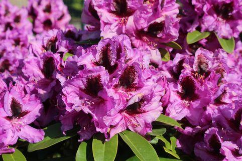 Rhododendron 'Kangaro' - Rhododendron Hybride 'Kangaro'