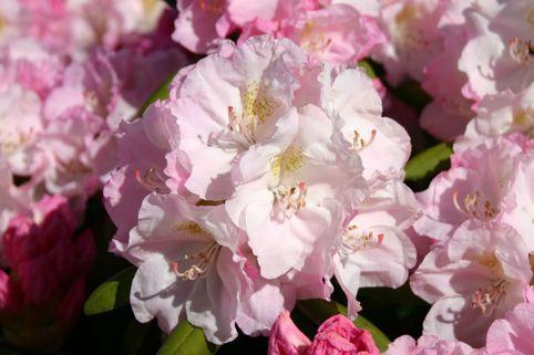 Rhododendron 'Ken Janeck' - Rhododendron yakushimanum 'Ken Janeck'