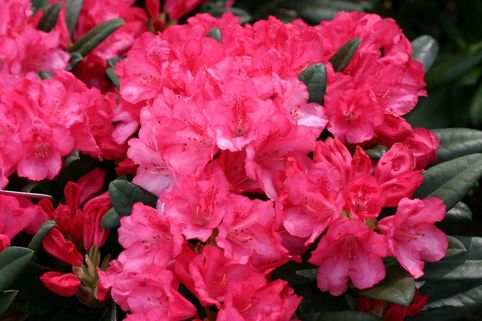 Rhododendron 'Kerstine' - Rhododendron yakushimanum 'Kerstine'