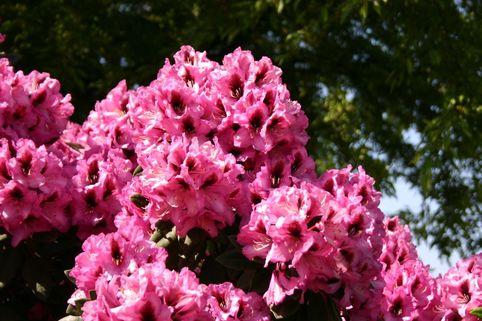 Rhododendron 'Kokardia' ® - Rhododendron Hybride 'Kokardia' ®