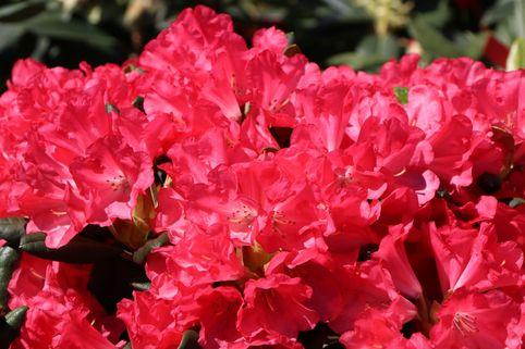 Rhododendron 'Lampion' - Rhododendron yakushimanum 'Lampion'