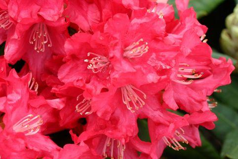 Rhododendron 'Leuchtfeuer' - Rhododendron yakushimanum 'Leuchtfeuer'