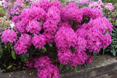 Rhododendron 'Lilofee' - Rhododendron Hybride 'Lilofee'