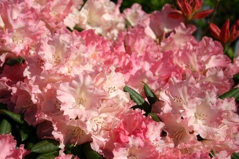 Rhododendron 'Loreley' - Rhododendron yakushimanum 'Loreley'