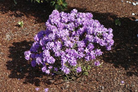 Rhododendron 'Luisella' - Rhododendron impeditum 'Luisella'
