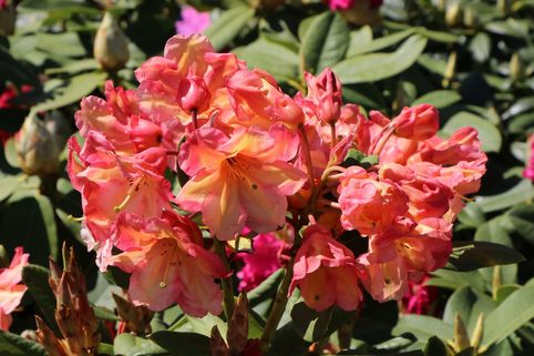 Rhododendron 'Macarena' - Rhododendron Hybride 'Macarena'