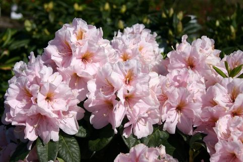 Rhododendron 'Madleen' - Rhododendron Hybride 'Madleen'
