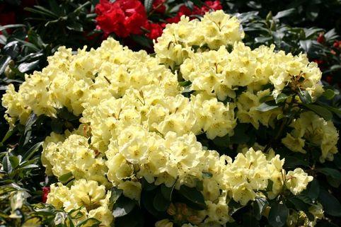 Rhododendron 'Maifeier' - Rhododendron Hybride 'Maifeier'
