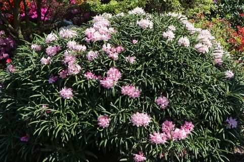 Rhododendron makinoi - Rhododendron makinoi
