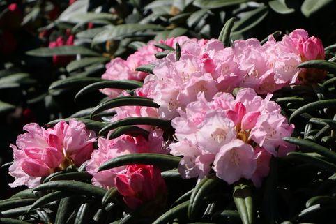 Rhododendron 'Makiyak' - Rhododendron makinoi 'Makiyak'