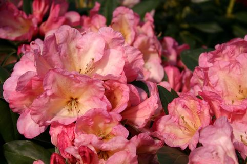 Rhododendron 'Malwine' - Rhododendron Hybride 'Malwine'