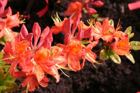 Rhododendron 'Mandarin Lights' - Rhododendron prinophyllum 'Mandarin Lights'