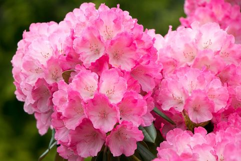 Rhododendron 'Manitou' - Rhododendron carolinianum 'Manitou'