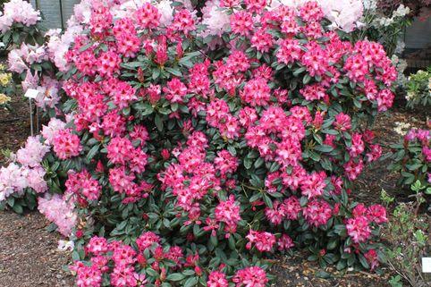 Rhododendron 'Marianka' ® - Rhododendron Hybride 'Marianka'  ®