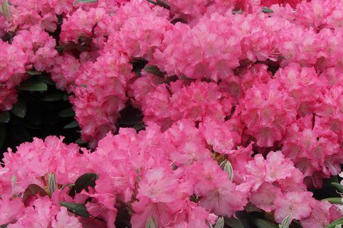 Rhododendron 'Marlis' - Rhododendron yakushimanum 'Marlis'