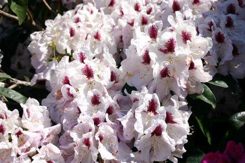 Rhododendron 'Marsalla' - Rhododendron Hybride 'Marsalla'