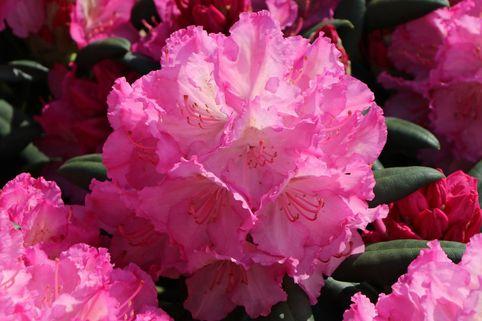 Rhododendron 'Mazurka' - Rhododendron Hybride 'Mazurka'