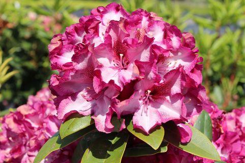 Rhododendron 'Midnight Mystique' - Rhododendron Hybride 'Midnight Mystique'